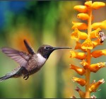 Bees and hummingbirds