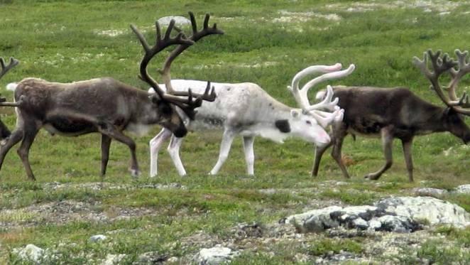 reindeer-jpg-662x0_q70_crop-scale